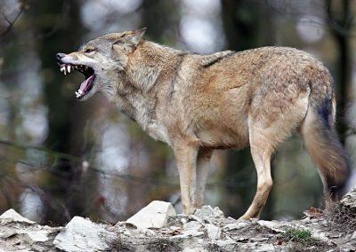wolf_rf_001