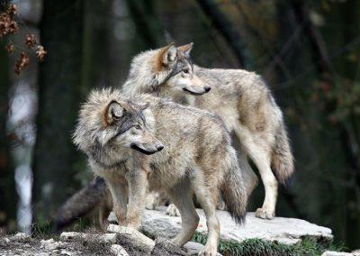 wolf_rf_002