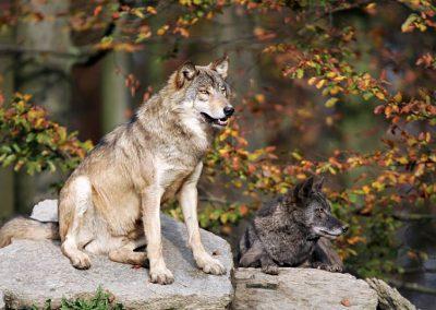 wolf_rf_003